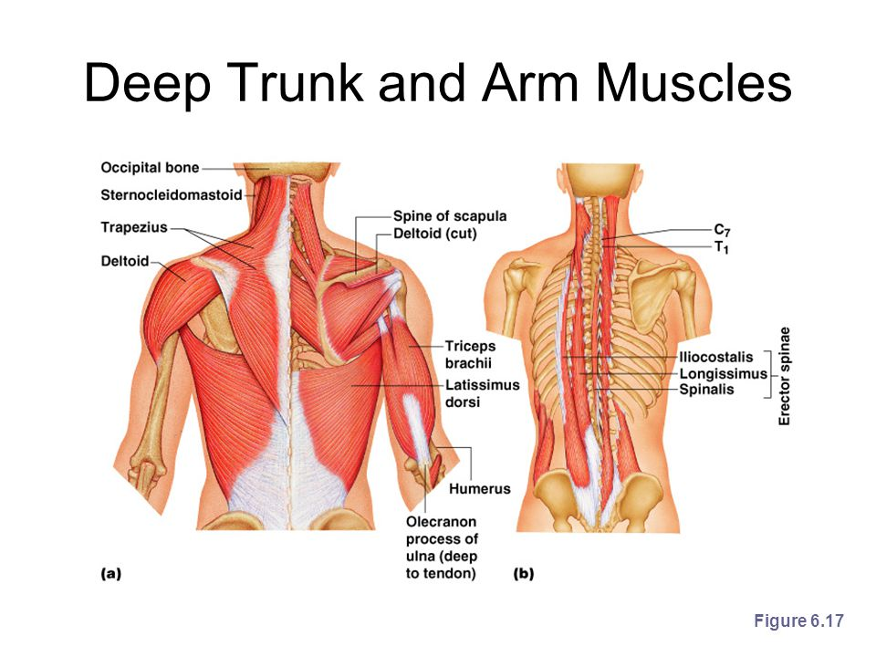 Trunk Of The Arm Muscles Diagram Block And Schematic Diagrams